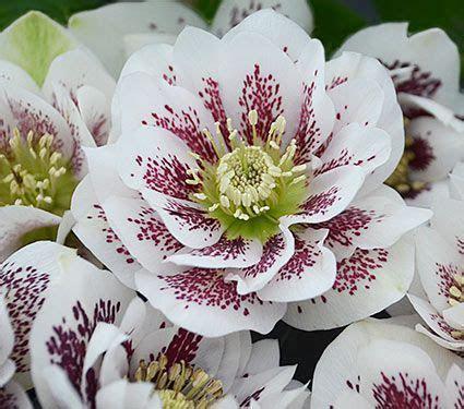 Helleborus Wedding Party?   White Flower Farm