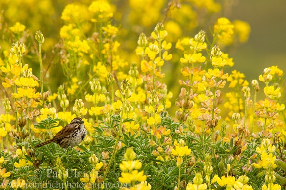 Photograph of a song sparrow perched in blooming yellow bush lupine