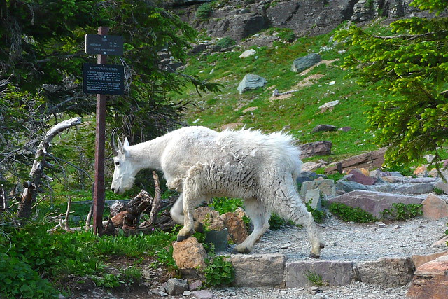 P1170204 Mountain Goat on Hidden Lake Trail
