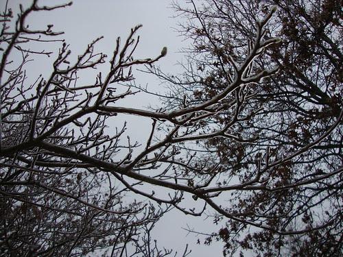 1/18/11 ice on trees