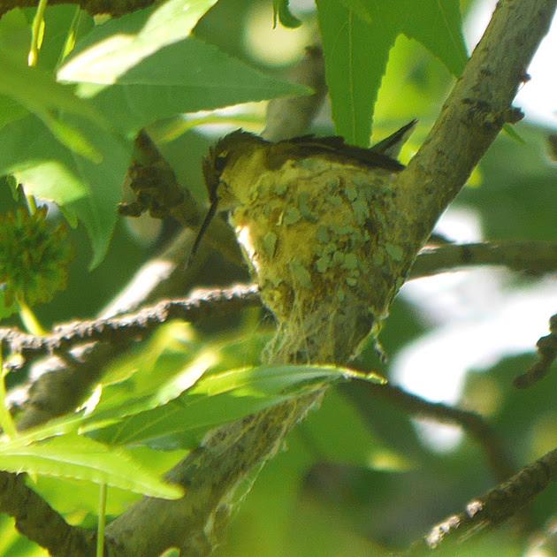 Ed Gaillard: birds &emdash; Ruby-Throated Hummingbird on nest, Central park