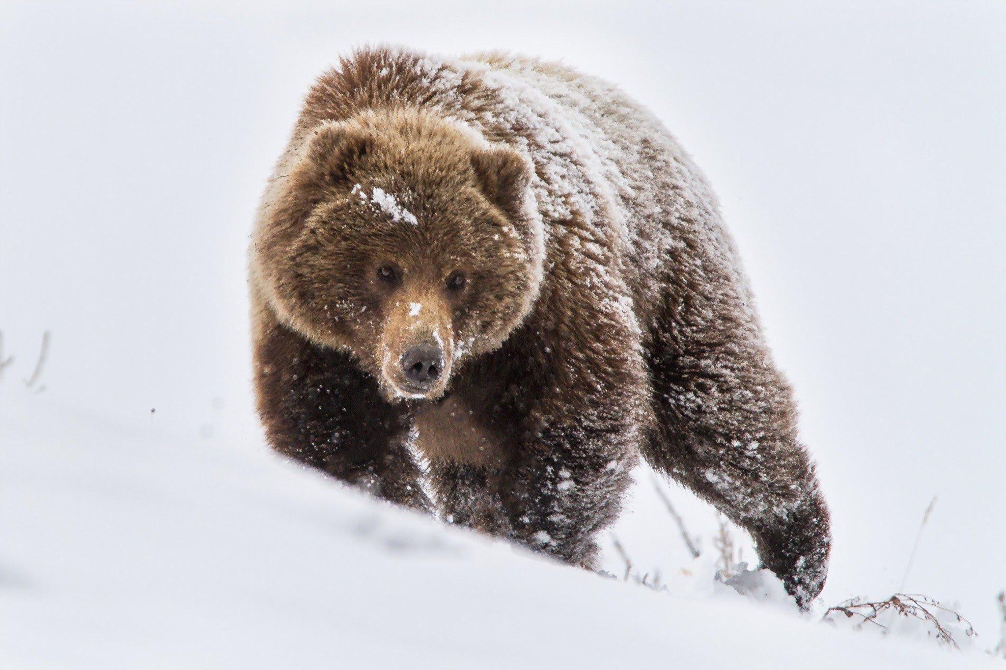 Bear Snow Wallpaper
