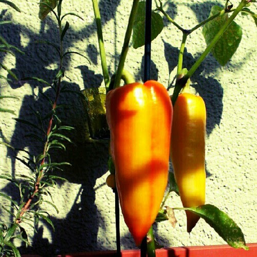 Day 5: since it's raining today and there really is no light to make #shadows I thought I share the shadows my peppers made a few days ago. #FMSphotoaday #photoaday #pepper #instadaily #orange