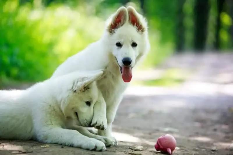 Buy White German Shepherd Puppies For Sale Near Me In Northern Ireland UK