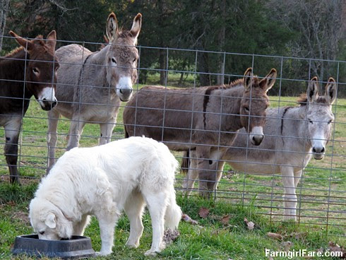 Dinnertime for Daisy, with donkeys (2) - FarmgirlFare.com