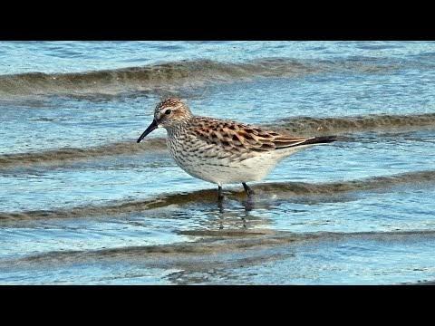 Aves migratórias raramente vistas na Caatinga são registradas em Santa Cruz do Capibaribe. Veja vídeo