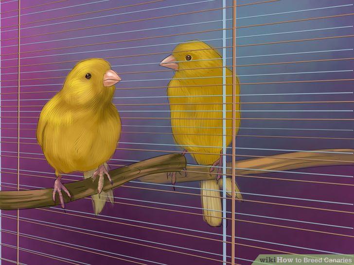 Breed Canaries Step 4 Version 2.jpg