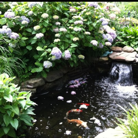 Koi fish pond surrounded by hydrangea