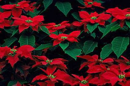 Poinsettia Plants To Grow Plants Database By Paul S Drobot