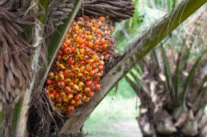 olilo di palma Palm fruit on the tree, tropical plant for bio diesel production