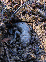 hibernating fence lizard