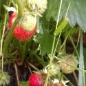Земляника садовая