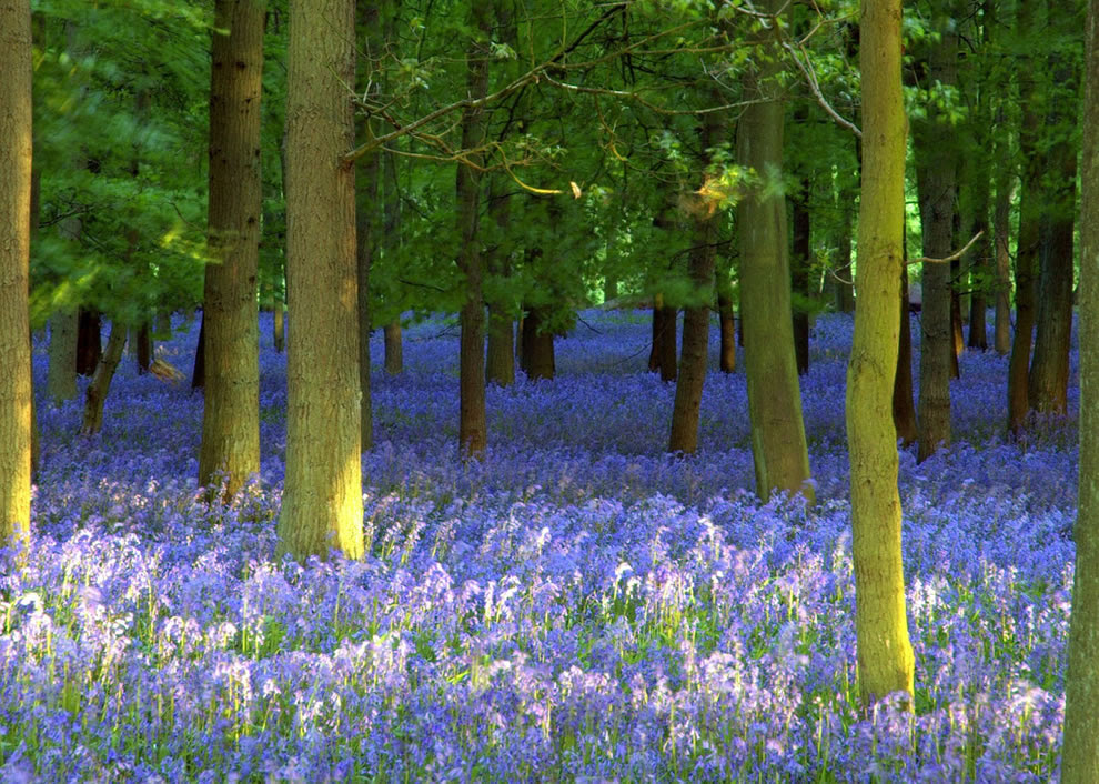 Bluebell carpet of Ashridge Forest UK at dusk