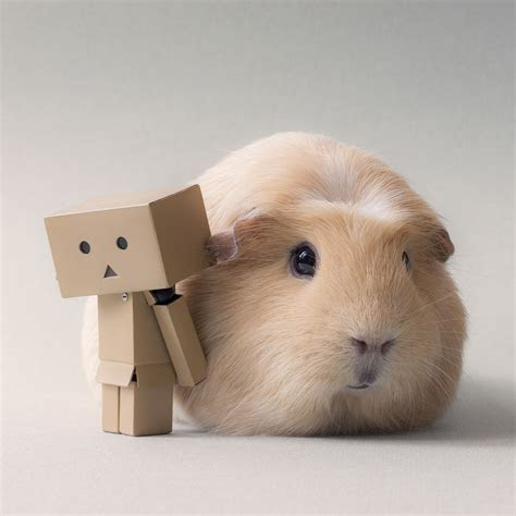 This Might Be the World?s Cutest Guinea Pig «TwistedSifter