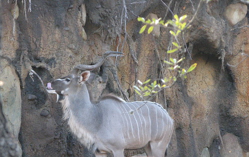 Kudu In the African Forest