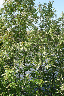 Chokecherry bushes