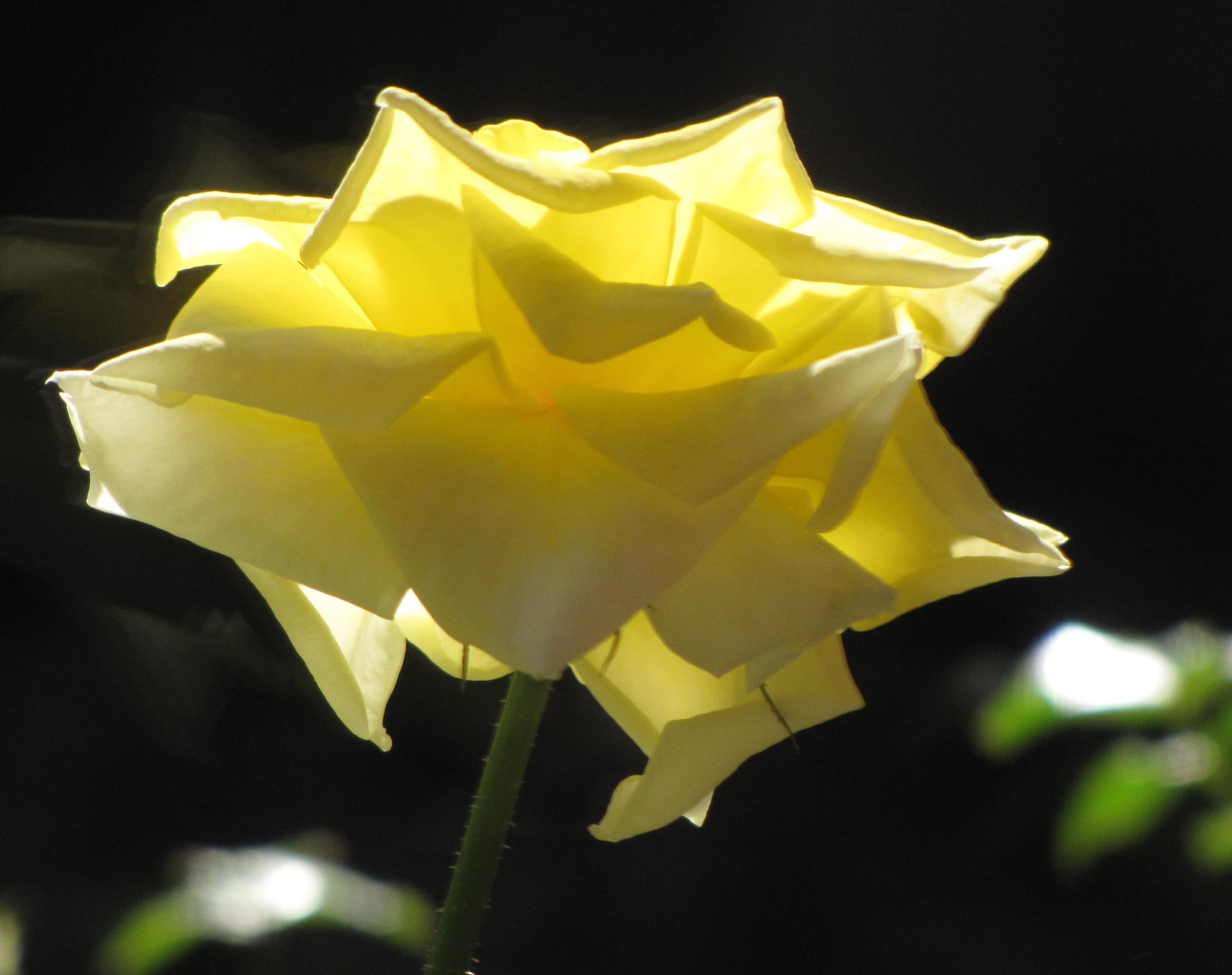 Irish Gold Rose