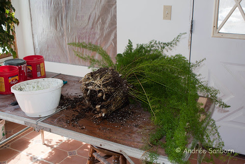 Repotting the asparagus fern (2 of 6).jpg