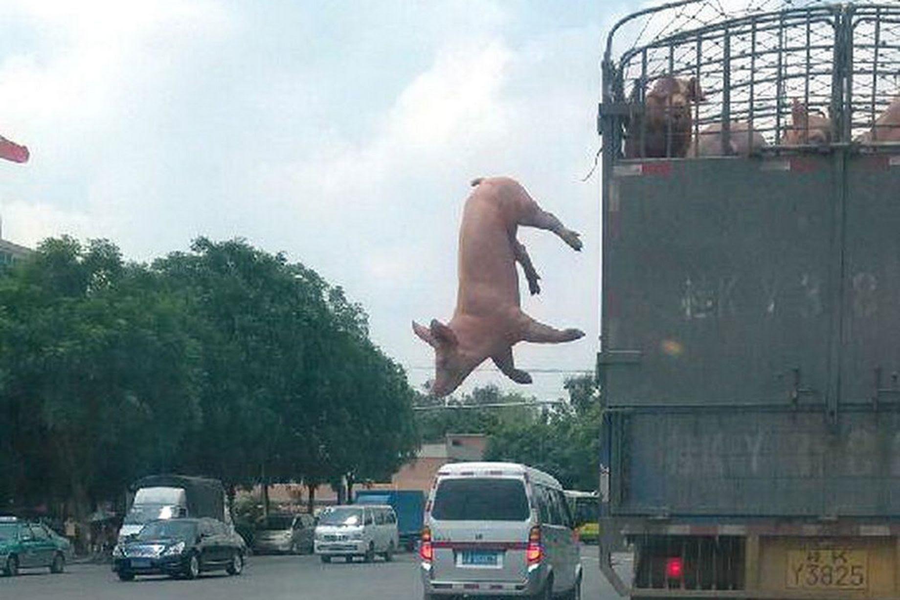 Χοιρινά ξεφεύγει από την κίνηση των φορτηγών