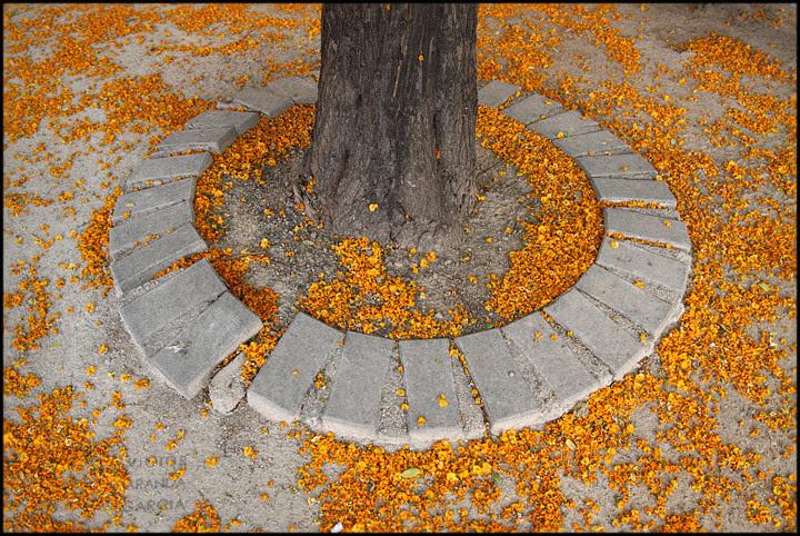 Flores bajo la acacia