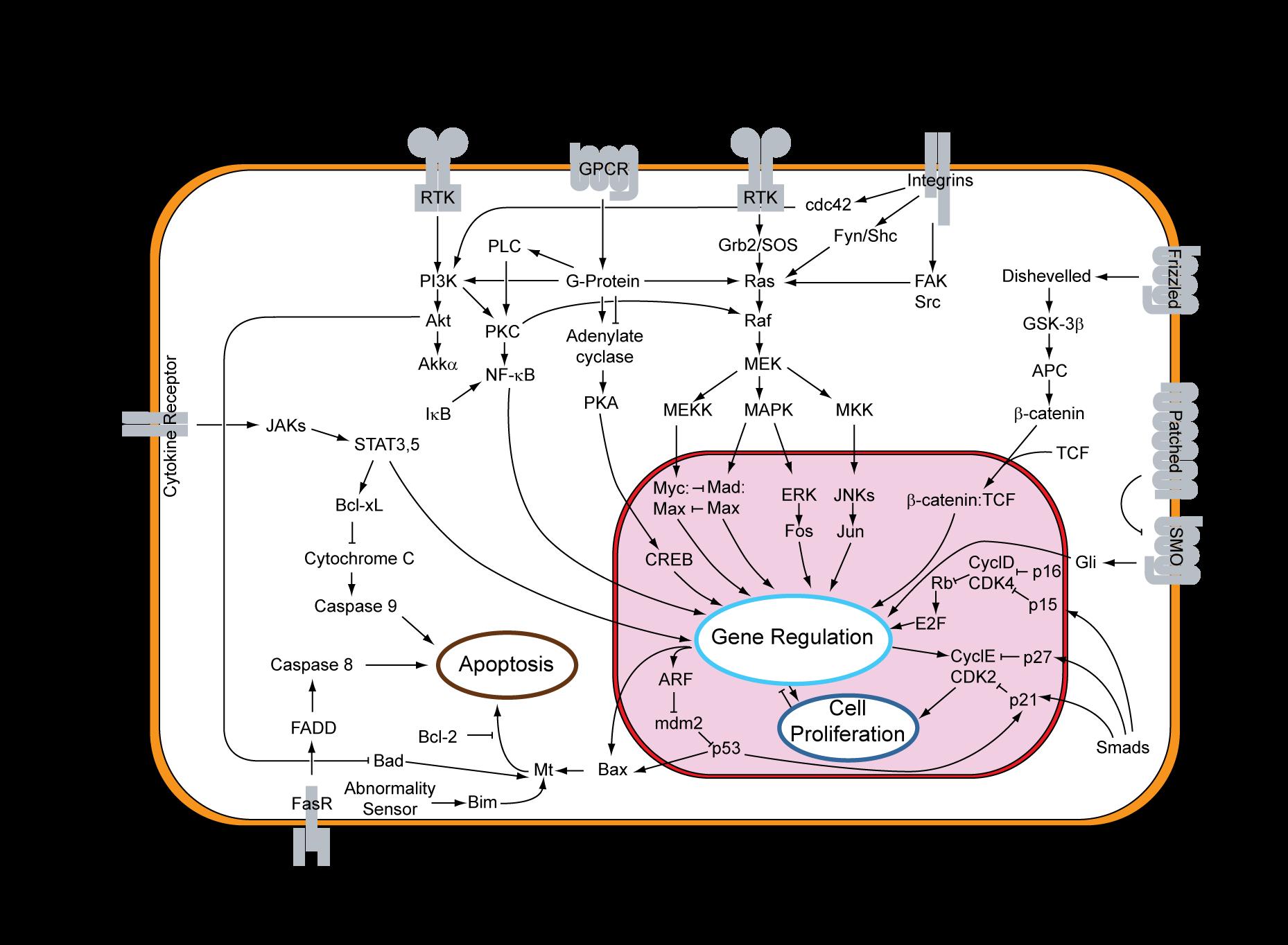 Esquema de todos los patrones de señalización intracelular conocidos