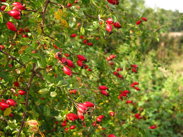 Rose hips on Pryors Field