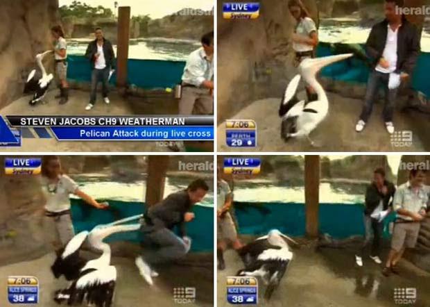 Em fevereiro de 2010, o apresentador de TV Steve Jacobs foi atacado por um pelicano enquanto comentava a previsão do tempo no zoológico de Taronga, em Sydney (Austrália). (Foto: Reprodução)