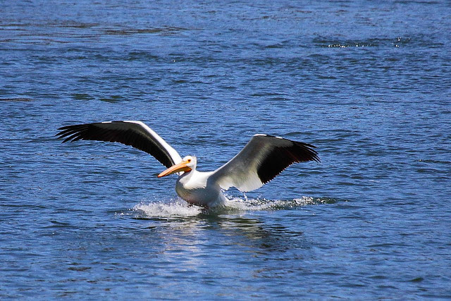 IMG_9301 American White Pelican from Fishing Bridge