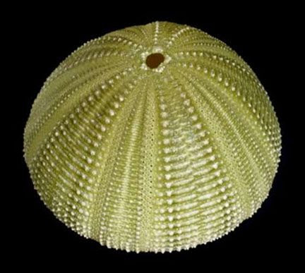 Green Sea Urchin ~ Dried Sealife: SANDOLLARS, SEA URCHINS, SEA FANS, AND SEAHORSES