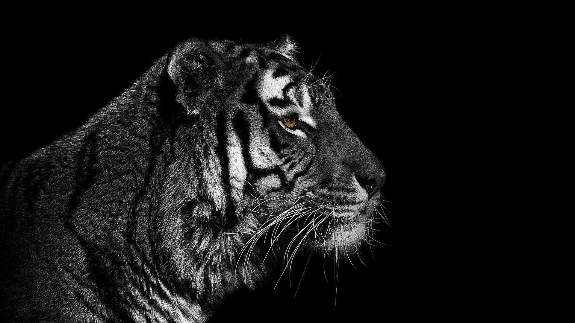 Beautiful Black Tiger Images Hd Wallpaper Pictures