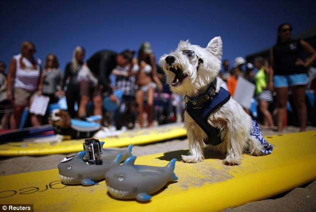 Over it: Surf Dog Joey, a West Highland Terrier, yawns as he waits to compete in the Surf City surf dog competition