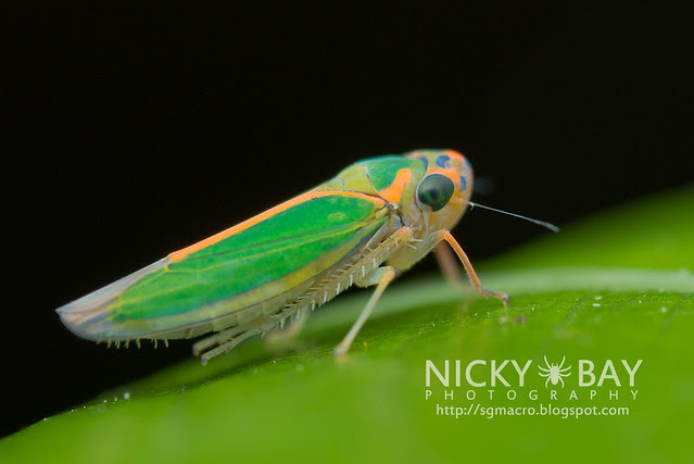 Leafhopper (Cicadellidae) - DSC_7048