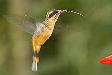http://upload.wikimedia.org/wikipedia/commons/thumb/0/01/Tawny-bellied_Hermit_(Phaethornis_syrmatophorus).jpg/220px-Tawny-bellied_Hermit_(Phaethornis_syrmatophorus).jpg