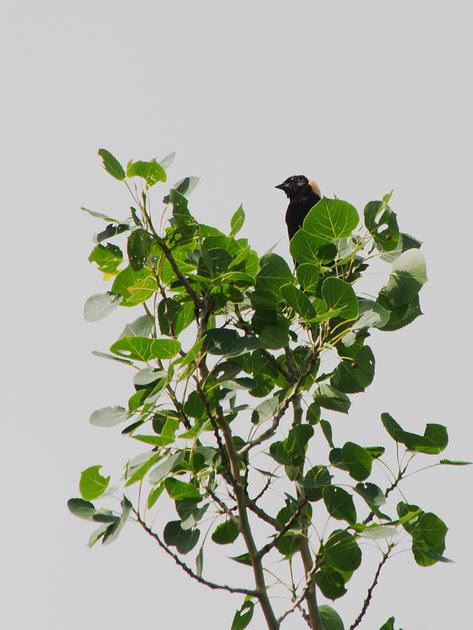 Ed Gaillard: birds &emdash; Bobolink, Prattsville NY