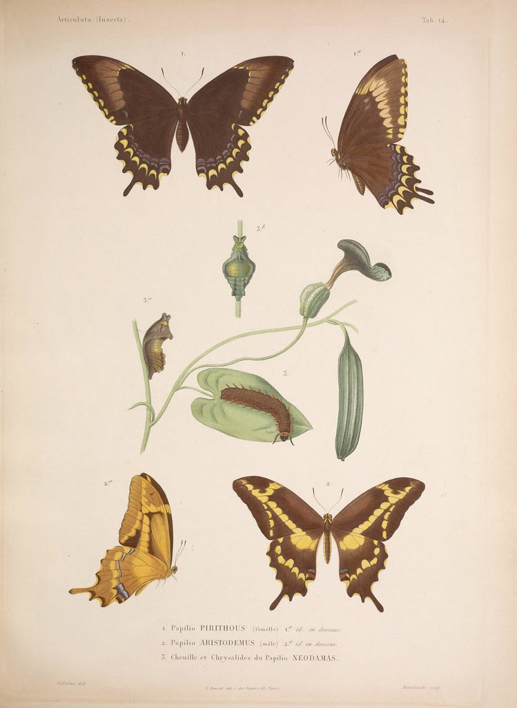 natural history illustration from  Cuba 1838-1857 f