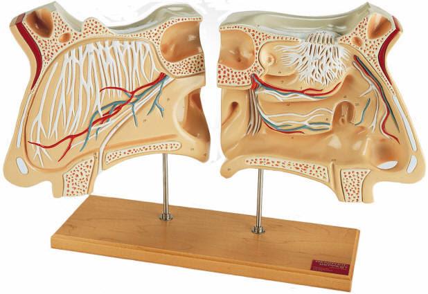 Esvoressca  Sinuses Of Head Diagram