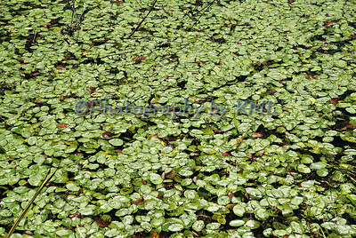 many green lily pads in the swamp