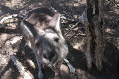 Hello Mr Roo....my first encounter with Skippy