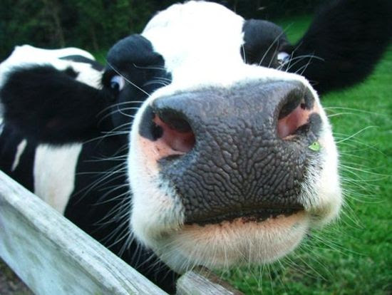 June is National Dairy month--hug your local cow--any day
