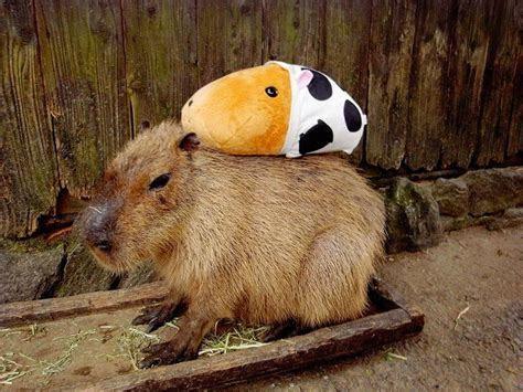 A Compendium On Capybaras   Featured Creature