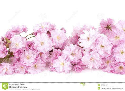Pretty Pink Cherry Blossom Branch Isolated On White Wood