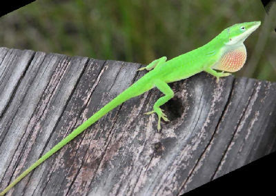Green Anole, Anolis carolinensis carolinensis, also called American Chameleon, Carolina Anole, Red-throated Anole, and Tree Lion