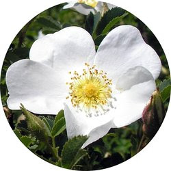 Cherokee-Rose