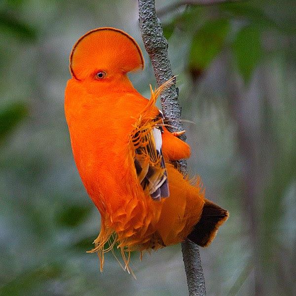 Ficheiro:Guianan Cock-of-the-rock (Rupicola rupicola).jpg