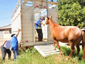 Caminhão que recolhe os cavalos soltos nas ruas deve passar duas vezes por semana (Foto: Divulgação/Prefeitura de Ponta Grossa)