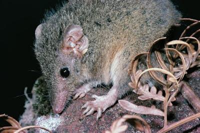 Antechinus mouse