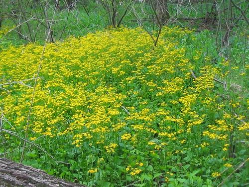 Golden ragwort along the C&O Canal