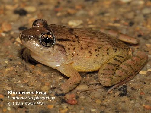 Rhino Frog in stream