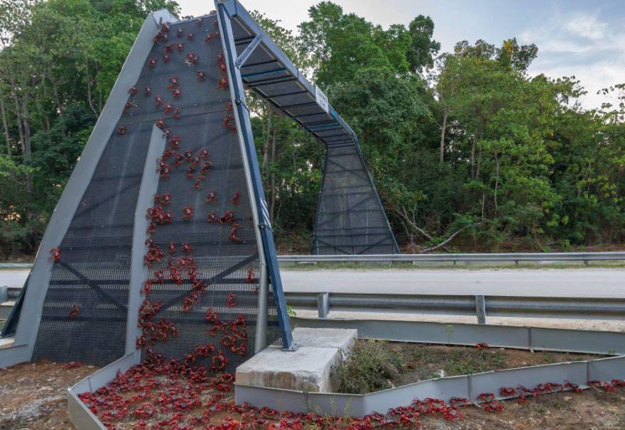 1. Christmas adasındaki Yengeç Köprüsü