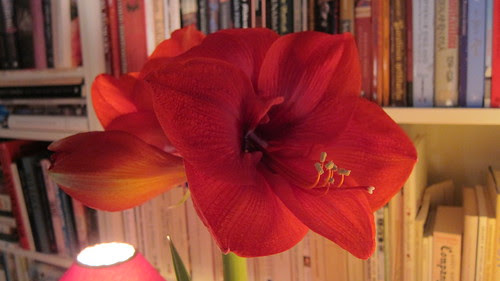 Amaryllis by Anna Amnell